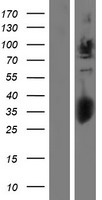 GPC2 / Glypican 2 Protein - Western validation with an anti-DDK antibody * L: Control HEK293 lysate R: Over-expression lysate