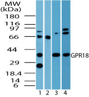 GPCRW / GPR18 Antibody - Western blot of GPR18 in human spleen lysate (4 ug/ml) in the 1) absence and 2) presence of immunizing peptide 3) mouse spleen (6 ug/ml) and 4) rat spleen lysate (3 ug/ml) using Peptide-affinity Purified Polyclonal Antibody to GPR18.