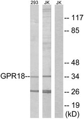 Western blot analysis of lysates from 293 and Jurkat cells, using GPR18 Antibody. The lane on the right is blocked with the synthesized peptide.