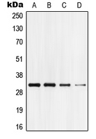 Western blot analysis of GPR18 expression in HEK293T (A); Jurkat (B); mouse brain (C); rat brain (D) whole cell lysates.