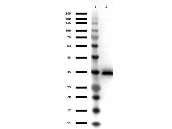 GPD1 Antibody - Western Blot results of Goat Anti-Glycerol 3 Phosphate-Dehydrogenase Peroxidase Conjugated. Lane 1: Opal Prestained Molecular weight Ladder Lane 2: Glycerol 3 Phosphate-Dehydrogenase. Load: 1µg. Primary Antibody: Goat anti-Glycerol 3 Phosphate-Dehydrogenase Peroxidase Conjugated Antibody at 1µg/mL overnight at 4°C. Secondary Antibody: Donkey Anti-Goat HRP at 1:40,000 for 30min at RT. Blocking: BlockOut for 30 min at RT. Expect: ~37kDa.