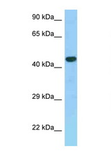 GPER / GPR30 antibody Western blot of Fetal Kidney lysate. Antibody concentration 1 ug/ml.  This image was taken for the unconjugated form of this product. Other forms have not been tested.