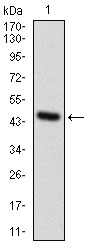 Western blot using GPNMB monoclonal antibody against human GPNMB recombinant protein. (Expected MW is 47.0 kDa)