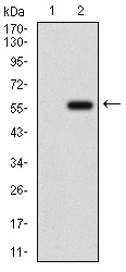 Western blot using GPNMB monoclonal antibody against HEK293 (1) and GPNMB (AA: 31-260)-hIgGFc transfected HEK293 (2) cell lysate.