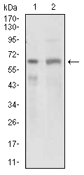 Western blot using GPNMB mouse monoclonal antibody against PANC1 (1) and PC-3 (2) cell lysate.