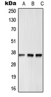 Western blot analysis of GPR12 expression in HepG2 (A); Raw264.7 (B); rat heart (C) whole cell lysates.