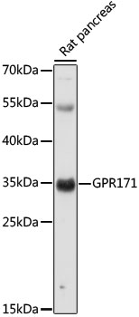 GPR171 Antibody - Western blot analysis of extracts of Rat pancreas, using GPR171 antibody at 1:1000 dilution. The secondary antibody used was an HRP Goat Anti-Rabbit IgG (H+L) at 1:10000 dilution. Lysates were loaded 25ug per lane and 3% nonfat dry milk in TBST was used for blocking. An ECL Kit was used for detection and the exposure time was 60s.
