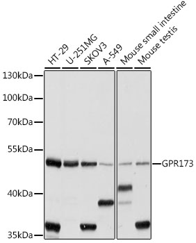 GPR173 / SREB3 Antibody - Western blot analysis of extracts of various cell lines, using GPR173 antibody at 1:1000 dilution. The secondary antibody used was an HRP Goat Anti-Rabbit IgG (H+L) at 1:10000 dilution. Lysates were loaded 25ug per lane and 3% nonfat dry milk in TBST was used for blocking. An ECL Kit was used for detection and the exposure time was 10s.