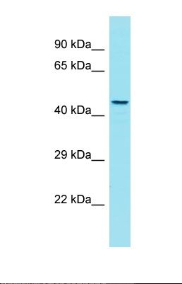 Western blot of Human Jurkat. GPR180 antibody dilution 1.0 ug/ml.  This image was taken for the unconjugated form of this product. Other forms have not been tested.