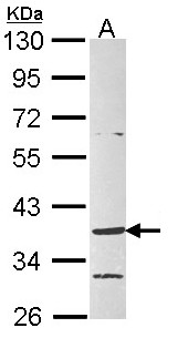 Sample (30 ug of whole cell lysate). A: Raji. 10% SDS PAGE. GPR4 antibody diluted at 1:1000.