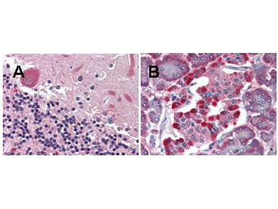 GPR48 / LGR4 Antibody - Anti-LGR4 monoclonal antibody was used diluted to 5 µg/ml to detect LGR4 staining at the membrane of cells in various human tissues. A. Brain cerebellum. B. Pancreas islet. Strongly positive staining is noted in subsets of cells within the islets of Langerhans. Moderately positive staiing was observed in Purkinje and Golgi neurons of the cerebellum, adrenal medulla, neuroendocrine cells, hepatocytes, lung macrophages, seminiferous tubules and Leydig cells of the testis. Faintly to moderately positive staining was also observed in cardiac myocytes and renal tubules, granulocytes, and subsets of lymphocytes. Some elastin background staining is noted. Tissue was formalin fixed and paraffin embedded. No pre-treatment of sample was required. The image shows the localization of antibody as the precipitated red signal, with a hematoxylin purple nuclear counterstain.