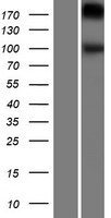 GPR48 / LGR4 Protein - Western validation with an anti-DDK antibody * L: Control HEK293 lysate R: Over-expression lysate