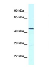 GPR52 antibody LS-C145962 Western blot of Fetal Heart lysate. Antibody concentration 1 ug/ml.  This image was taken for the unconjugated form of this product. Other forms have not been tested.