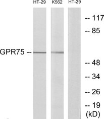 Western blot analysis of lysates from HT-29 and K562 cells, using GPR75 Antibody. The lane on the right is blocked with the synthesized peptide.