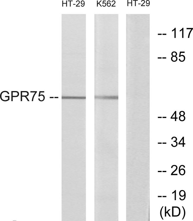 GPR75 Antibody - Western blot analysis of lysates from HT-29 and K562 cells, using GPR75 Antibody. The lane on the right is blocked with the synthesized peptide.