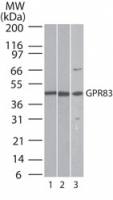 Western blot ofGPR83 in lysate from 1) human brain, 2) mouse brain, and 3) rat brain using antibody at 0.5 ug/ml.