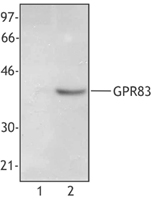 Cell extract from 293T cells (Lane 1) or 293T cells transfected with human GPR83 (Lane 2) was resolved by electrophoresis, transferred to nitrocellulose, and probed with monoclonal anti-GPR83 antibody. Proteins were visualized using HRP goat anti-mouse Ig