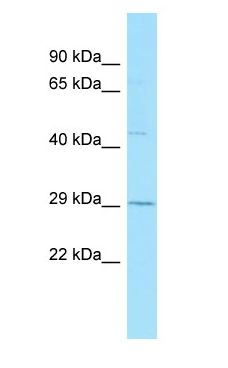 GPR84 antibody Western Blot of Placenta.  This image was taken for the unconjugated form of this product. Other forms have not been tested.