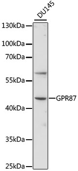 GPR87 Antibody - Western blot analysis of extracts of DU145 cells, using GPR87 antibody at 1:1000 dilution. The secondary antibody used was an HRP Goat Anti-Rabbit IgG (H+L) at 1:10000 dilution. Lysates were loaded 25ug per lane and 3% nonfat dry milk in TBST was used for blocking. An ECL Kit was used for detection and the exposure time was 90s.