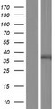 GPR89A Protein - Western validation with an anti-DDK antibody * L: Control HEK293 lysate R: Over-expression lysate