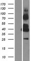GPRC5C Protein - Western validation with an anti-DDK antibody * L: Control HEK293 lysate R: Over-expression lysate