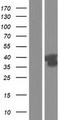 GPRC5D Protein - Western validation with an anti-DDK antibody * L: Control HEK293 lysate R: Over-expression lysate