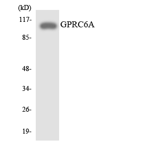 Western blot analysis of the lysates from HeLa cells using GPRC6A antibody.