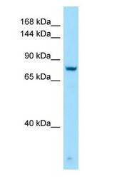 GPRC6A antibody Western Blot of Jurkat.  This image was taken for the unconjugated form of this product. Other forms have not been tested.
