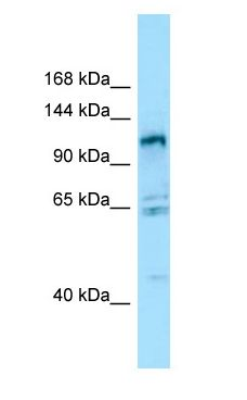GPRC6A antibody Western Blot of 293T.  This image was taken for the unconjugated form of this product. Other forms have not been tested.