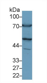 GPT / Alanine Transaminase Antibody - Western Blot; Sample: Rat Heart lysate; Primary Ab: 1µg/ml Rabbit Anti-Rat ALT Antibody Second Ab: 0.2µg/mL HRP-Linked Caprine Anti-Rabbit IgG Polyclonal Antibody