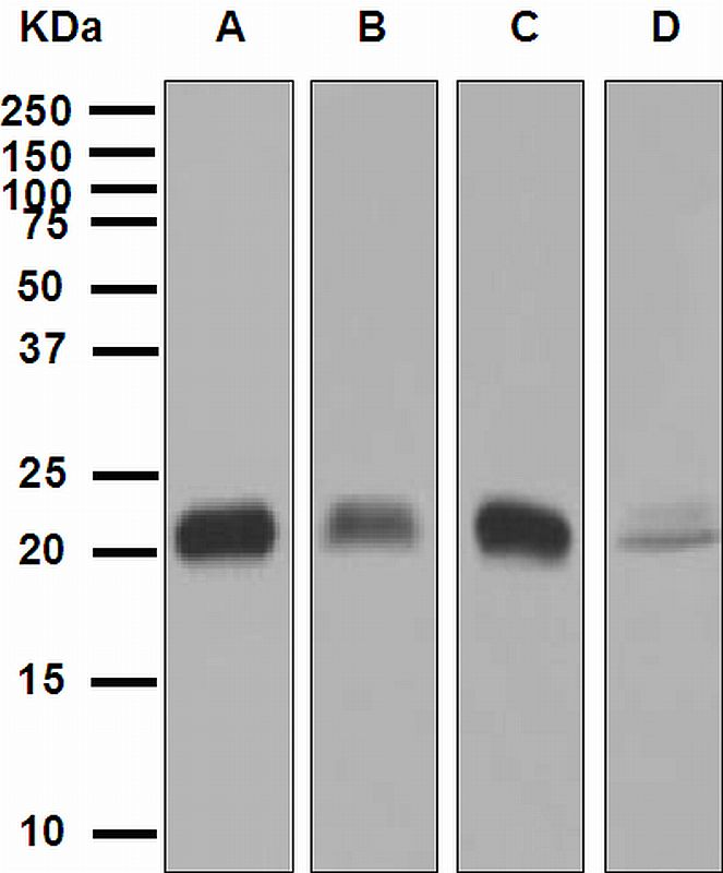 Western blot analysis on (A) fetal liver, (B) 293T, (C) THP-1, and (D) HepG2 cell lysates using anti-GPX1 antibody.