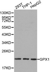 Western blot of GPX1 pAb in extracts from 293T, THP1 and HepG2 cells.