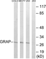 Western blot analysis of lysates from 293, MCF-7, COLO cells, using GRAP Antibody. The lane on the right is blocked with the synthesized peptide.