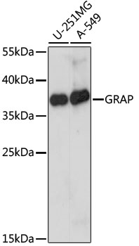 GRAP Antibody - Western blot analysis of extracts of various cell lines, using GRAP antibody at 1:1000 dilution. The secondary antibody used was an HRP Goat Anti-Rabbit IgG (H+L) at 1:10000 dilution. Lysates were loaded 25ug per lane and 3% nonfat dry milk in TBST was used for blocking. An ECL Kit was used for detection and the exposure time was 5s.