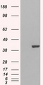 HEK293 overexpressing GRAP2 (RC206546) and probed with (mock transfection in first lane).