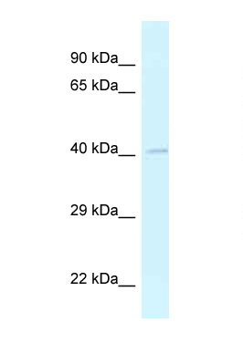 GRASP antibody LS-C145776 Western blot of Small Intestine lysate. Antibody concentration 1 ug/ml.  This image was taken for the unconjugated form of this product. Other forms have not been tested.