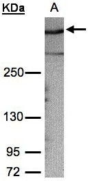 Sample (30g whole cell lysate). A: HeLa S3. 5% SDS PAGE. Gravin / AKAP12 antibody diluted at 1:1000