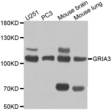 Western blot analysis of extracts of various cell lines, using GRIA3 antibody at 1:1000 dilution. The secondary antibody used was an HRP Goat Anti-Rabbit IgG (H+L) at 1:10000 dilution. Lysates were loaded 25ug per lane and 3% nonfat dry milk in TBST was used for blocking.