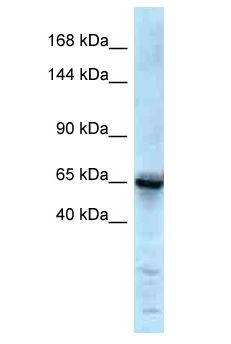 GRIK1 / GLUR5 antibody Western Blot of Mouse Thymus. Antibody dilution: 1 ug/ml.  This image was taken for the unconjugated form of this product. Other forms have not been tested.