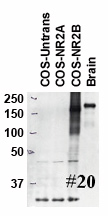 Lysates of rat brain and COS-7 cells transfected with empty, NR2A, and NR2B plasmids