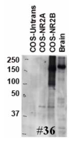 Lysates of rat brain and COS-7 cells transfected with empty, NR2A, and NR2B plasmids.