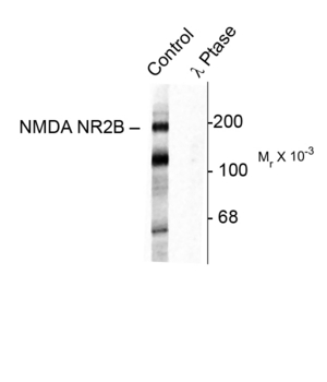 GRIN2B / NMDAR2B / NR2B Antibody - Western blot of rat hippocampal lysate showing specific immunolabeling of the ~180k NR2B subunit of the NMDAR phosphorylated at Tyr1472 (Control). The phosphospecificity of this labeling is shown in the second lane (lambda-phosphatase: l-Ptase). The blot is identical to the control except that it was incubated in l-Ptase (1200 units for 30 min) before being exposed to the Anti-Phospho-Tyr1472 NMDA NR2B subunit. The immunolabeling is completely eliminated by treatment with l-Ptase.