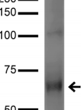 GRK / GPCR Kinase Antibody - Detection of GRK6A/B in COS cells transfected with GRK6 with GRK (pan) Monoclonal Antibody at 5ug/ml.