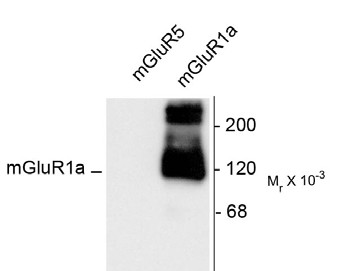 Western blot of 10 ug of HEK 293 cells expressing mGluR1a and mGluR5 showing the specific immunolabeling of the -125k monomer and the -250k dimer of mGluR1a. The mGluR1a antibody shows no reactivity toward mGluR5.