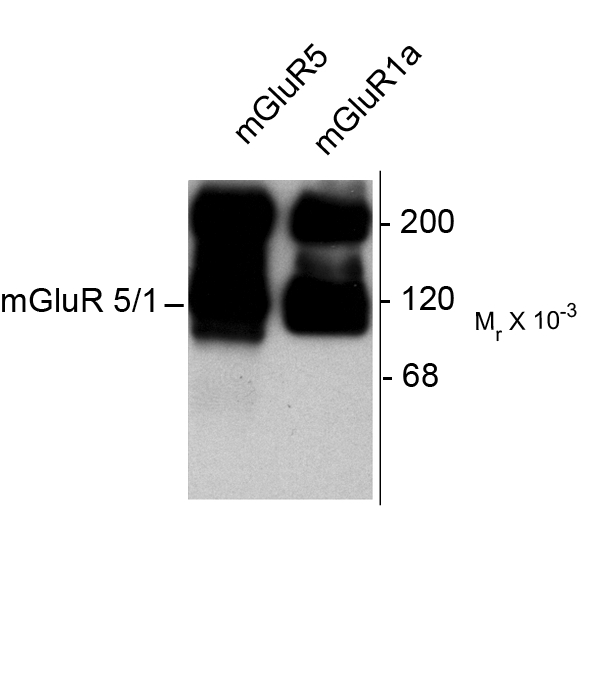 GRM1a / GRM5 Antibody - Western blot of HEK 293 cells expressing mGluR1a and mGluR5 showing the specific immunolabeling of the ~125k monomers and the ~250k dimers of mGluR1a and mGluR5.