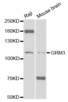 Western blot analysis of extracts of various cell lines, using GRM3 antibody.