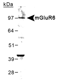GRM6 / MGLUR6 Antibody - Detection of mGluR6 in mouse brain lysate using antbody at 0.5 ug/ml.  This image was taken for the unconjugated form of this product. Other forms have not been tested.