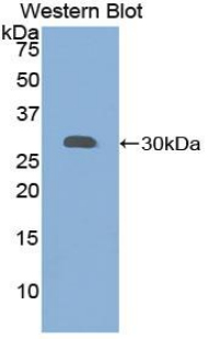 Western blot of recombinant GRN / Progranulin / Granulin.  This image was taken for the unconjugated form of this product. Other forms have not been tested.