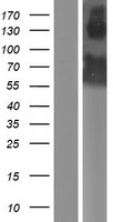 GRSF1 Protein - Western validation with an anti-DDK antibody * L: Control HEK293 lysate R: Over-expression lysate
