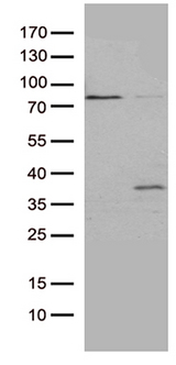 GSG1 Antibody - HEK293T cells were transfected with the pCMV6-ENTRY control. (Left lane) or pCMV6-ENTRY GSG1. (Right lane) cDNA for 48 hrs and lysed. Equivalent amounts of cell lysates. (5 ug per lane) were separated by SDS-PAGE and immunoblotted with anti-GSG1. (1:2000)